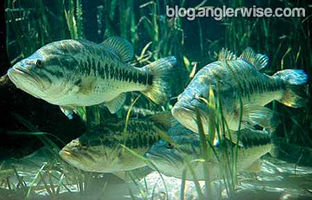 Large Lures Larger Fish