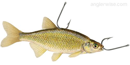 Rig Bait Fish Golden Shiner