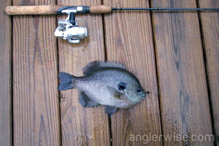 Panfish Bait Fishing Rigs