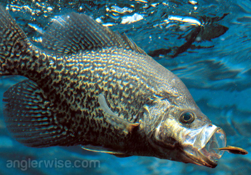 Best Lures for Crappie Fishing