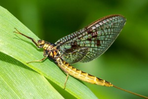 Yellow_mayfly_on_leaf