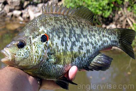 Catch Redear Sunfish Spring