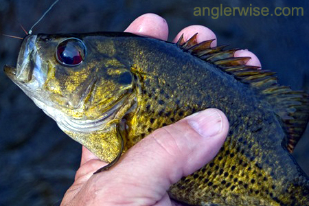 Rock Bass Fishing Tips and Techniques for Summer