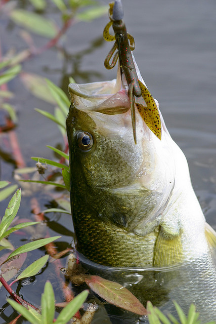 Ultralight fishing with soft plastics is great for catching large mouth bass
