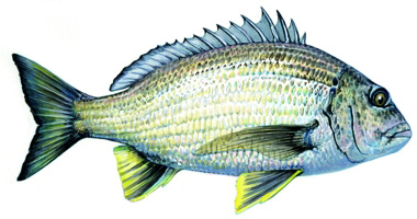 how to catch bream in the swan river