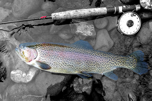 Rainbow trout is a grand prize of ultralight fly fishing